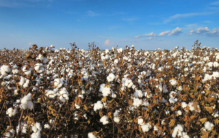 Seed cotton is available for ARC and PLC safety net programs under the 2018 Farm Bill.