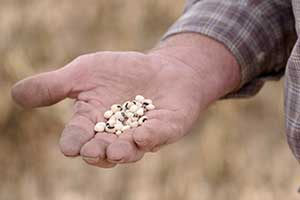 Black-eyed peas and Texas South Plains farmers. Two peas in a pod. Together, they bring the world a little luck.